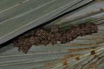 Gelbohrfledermaus-Kolonie (Uroderma bilobatum)