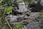 Eine männliche Alpenviper kommt zur Welt