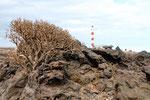 Euphorbie vor dem Leuchtturm von Porís de Abona