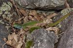 Smaragdeidechsen-Männchen