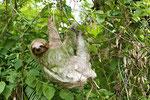 Dreizehenfaultier mit algenbewachsenem Fell