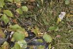 In der Vegetation gut getarnte Alpenviper