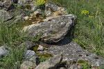 Smaragdeidechse, Weibchen aus dem Elsass