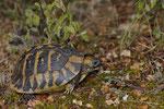 Griechische Landschildkröte (Testudo h. boettgeri)