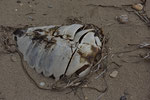 Panzer einer unechten Karettschildkröte (Caretta caretta)