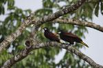Montezumastirnvögel (Psarocolius montezuma)
