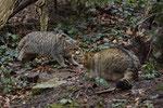 Europäische Wildkatzen oder Waldkatzen (Felis silvestris), Wildnispark Zürich Langenberg