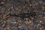 Alpensalamander (Salamandra a. atra)