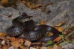 Karbonarschlange, Weibchen aus der Südschweiz