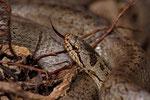 Züngelndes Schlingnatter-Weibchen