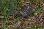 Maurische Landschildkröte (Testudo graeca ibera)