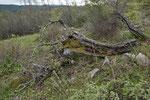 Baumstrunk in den Rhodopen