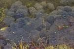 Laichballen der Grasfrösche