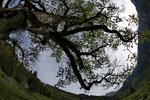 Bergahorn (Fisheye)