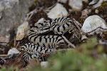 Neugeborenes Männchen von Vipera a. aspis