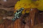 Goldbaumsteiger (Dendrobates auratus)