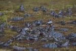 Laichende Grasfrösche