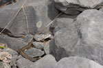 Ein Weibchen hat sich unmittelbar nach der Geburt gehäutet (die Haut hängt noch an der Schwanzspitze der jungen Viper)