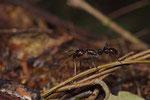 24-Stunden-Ameise (Paraponera clavata)
