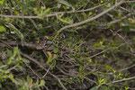 Bergottern klettern auch im Gebüsch