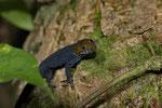 Gelbkopfgecko (Gonatodes albogularis), Männchen