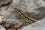 Mauereidechse, Weibchen