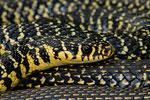 Die auffällige Gelbfärbung zeigt sich vor allem am Kopf und im vordersten Körperdrittel.