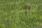 Lockerblütiges Knabenkraut (Orchis laxiflora)