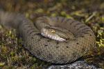 Aspisviper, junges Weibchen, Berner Jura