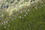 Narzissen (Narcissus poeticus)