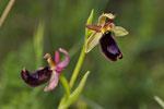 Bertolonis Ragwurz (Ophrys bertolonii)