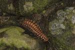 Tausendfüssler (Polydesmidae)