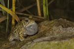 Kreuzkröte (Bufo calamita), rufendes Männchen