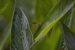 Schlankanolis (Norops limifrons)