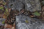 Alpenviper-Männchen