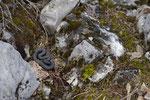 Alpenviper im noch deckungslosen Habitat