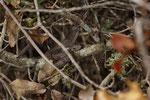 Östliche Eidechsennatter (Malpolon insignitus), sonnendes Jungtier