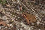 Grasfrosch (Rana t. temporaria)