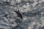 Gemeiner Delfin