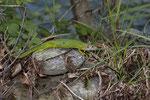 Weibliche Smaragdeidechse ohne schwarze Farbpigmente