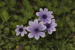 Kronenanemone (Anemone coronaria)