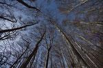 Canopy shyness (Rotbuchen)
