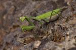 Gottesanbeterin (Mantis religiosa), Weibchen