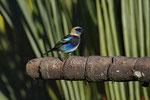 Purpurmaskentangare (Tangara larvata)