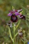 Argolische Ragwurz (Ophrys argolica)