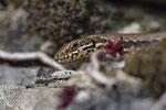 Mitte Februar erscheinen auch die ersten Weibchen der Mauereidechse an der Sonne...