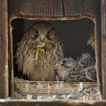 11. Juli: Die Jungvögel sind unterschiedlich weit entwickelt