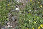 Junge maurische Landschildkröten