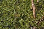 Epiros-Wasserfrosch (Pelophylax epeiroticus)