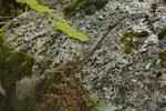 Halbwüchsiges Smaragdeidechsen-Weibchen aus der Südschweiz